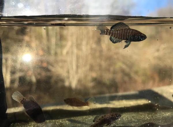 Carolina pygmy sunfish