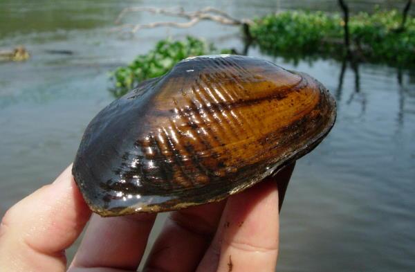Elliptio roanokensis from Savannah River