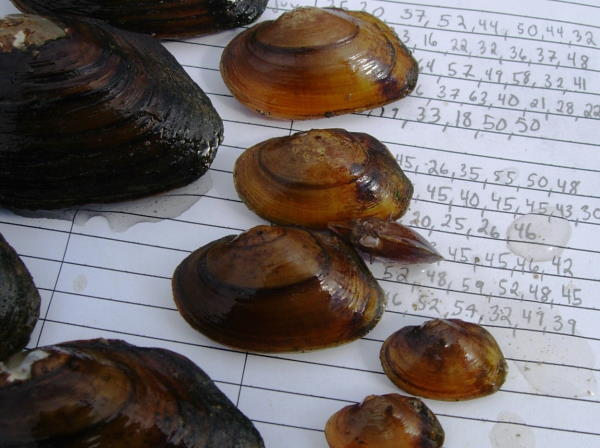 James River Spinymussel
