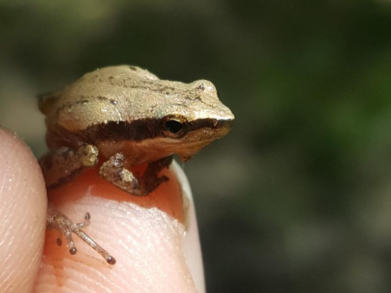 little grass frog in Croatan