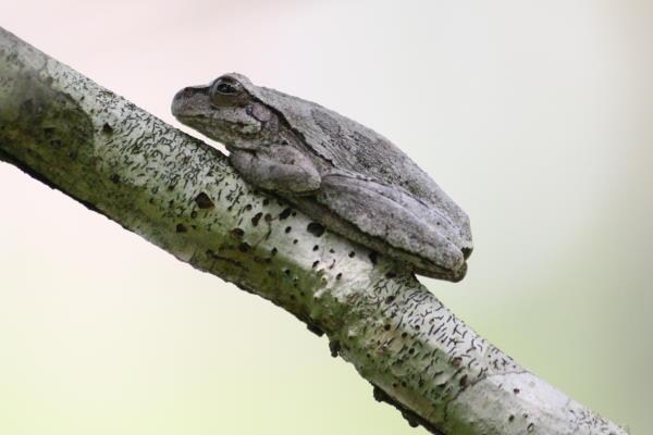 pinewoods tree frog in croatan