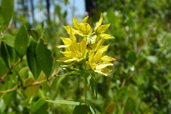 Rough Leaf Loosestrife (Lysimachia asperulifolia) Federally Threatened