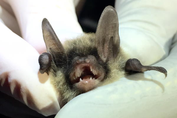 Northern Long-Eared Bat (Myotis septentrionalis) Federally Threatened