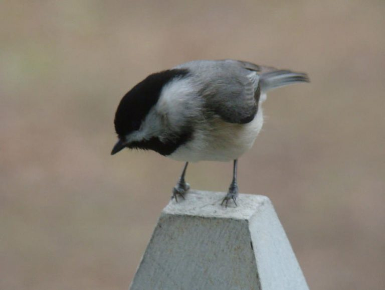 photo of Carolina chickadee
