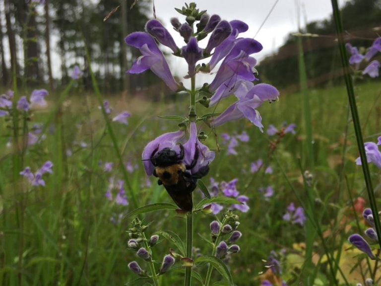 carpenter bee on skullcap flower