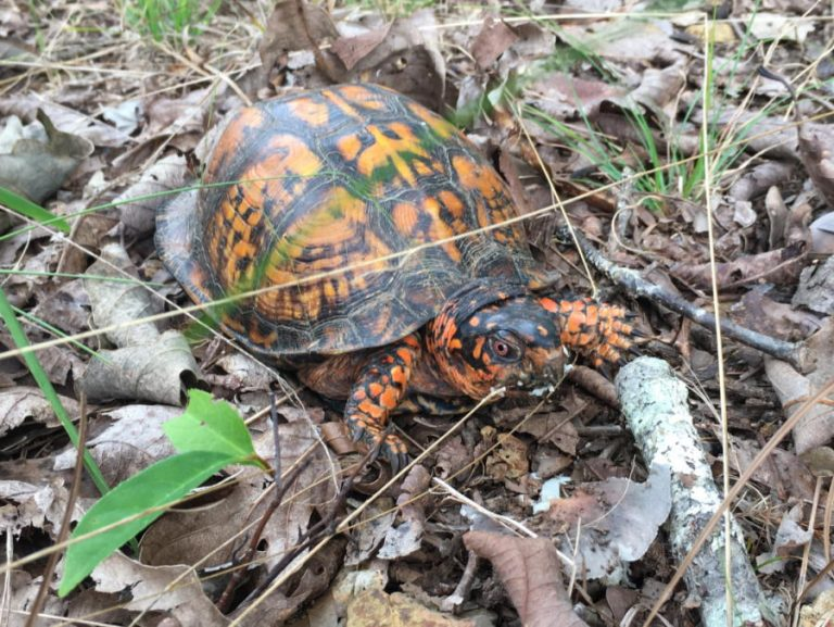 photo of eastern box turtle