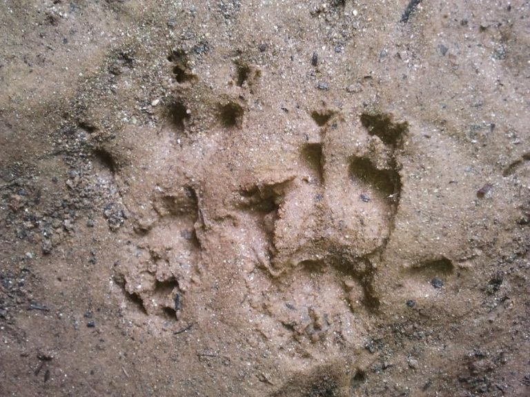 tracks of gray squirrel