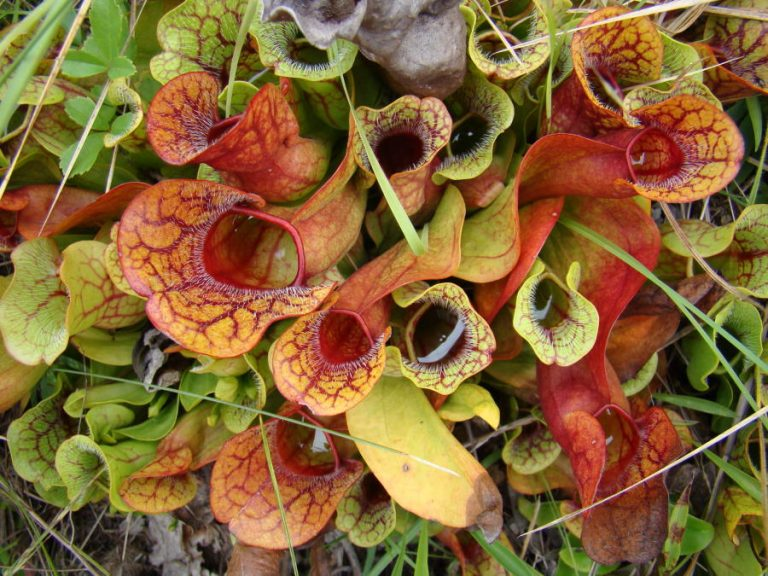 photo of purple pitcher plant