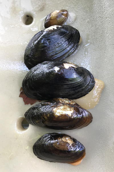 Appalachian Elktoe and Creeper mussels from French Broad River