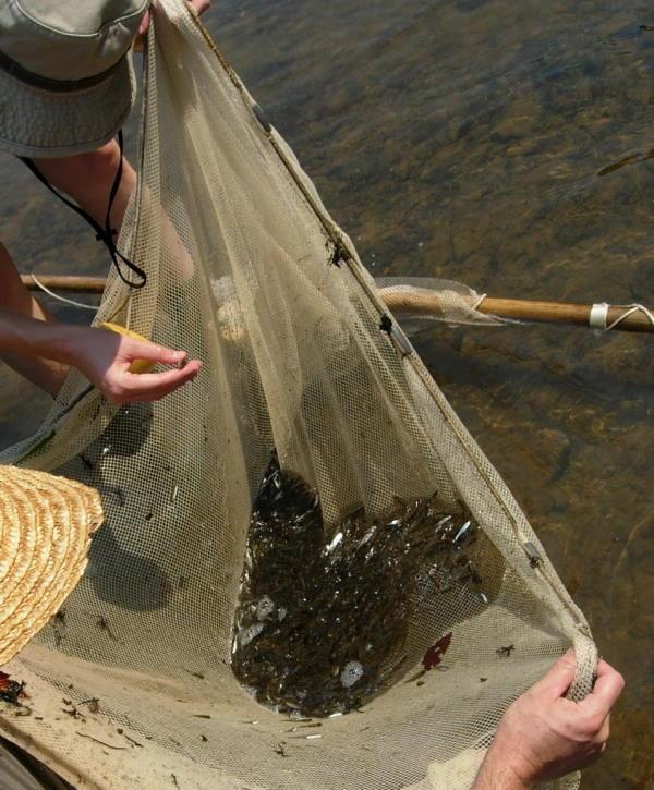 biologists conducting freshwater fish seine survey