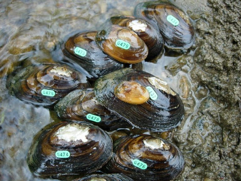 James River Spinymussel relocation monitoring