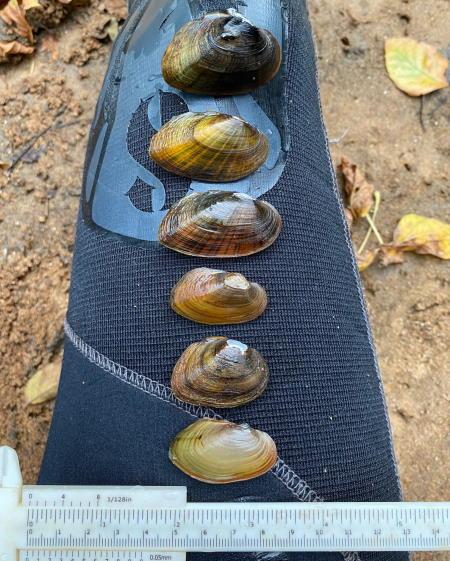 mussels in swift creek in neuse river basin