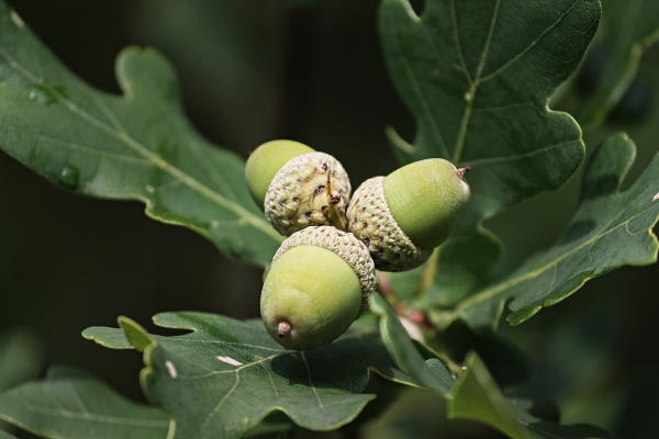 three acorns with oak leaves